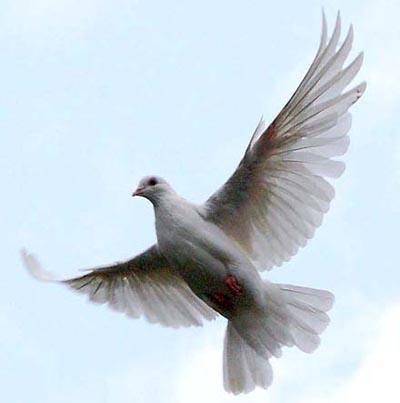 Голуби летят над нашей зоной ...