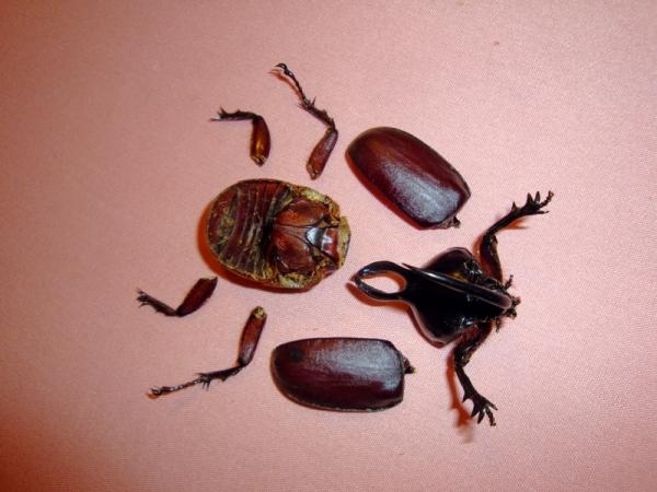 Мои насекомые Steampunk bugs. Жук-Носорог. (Фото 3)