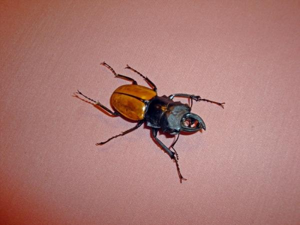 Мои насекомые Steampunk bugs. Жук-Олень.